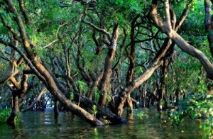 16135240-flooded-forest-of-mangrove-trees-at-kompong-phluk-near-siem-reap-cambodia
